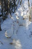 Group of white geese on snowy road. stock images