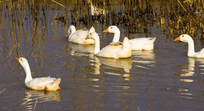 A flock of white geese swimming in the water royalty free stock photos
