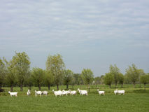 Group of white goats in green dutch meadow in the netherlands dr Royalty Free Stock Images