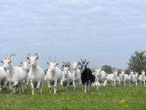 Group of white goats in green dutch meadow with yellow flowers i Stock Photos