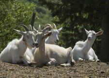 Group of white goats at farm Stock Photos
