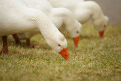 Group of white gooses Stock Photos