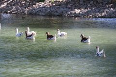 Group of white and gray geese swimming, Lerida stock photos