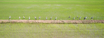 Group of white great egret in the rice field, Aerial view from f Royalty Free Stock Photography