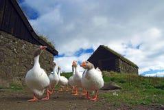 Group of white-grey goose in Faroe island. Group of six goose in Faroe island near the old buildings stock photos