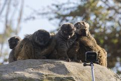 Group of white-headed lemurs surprised in front of a camera. The white-headed lemur Eulemur albifrons, also known as the white-headed brown lemur, white-fronted Stock Photography