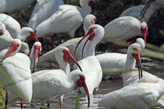 A group of white ibis in a Florida wetlands. Royalty Free Stock Photo