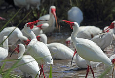 A group of white ibis in a Florida wetlands. Stock Images