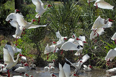 A group of white ibis taking off in Florida. Royalty Free Stock Images