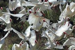 Group of white ibis taking off in Florida. Royalty Free Stock Image