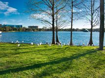 Group of White Ibis walk by the Lake royalty free stock image