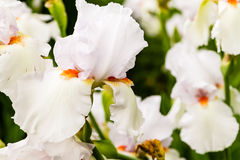 A group of white iris blooming Stock Photos