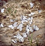 A group of white large butterflies that sit together next to each other. On the ground royalty free stock images