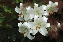 Group of white lily - closeup. Close up of white lily in the garden royalty free stock photos