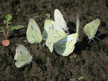 A group of white little butterflies sitting on the ground stock photos