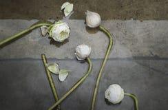 Group of white lotus Stock Image