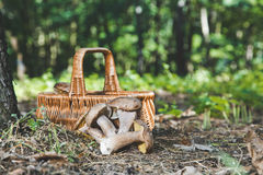Group of white mushrooms near wicker basket in forest Royalty Free Stock Photos