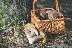 Group of white mushrooms near wicker basket in forest Stock Images