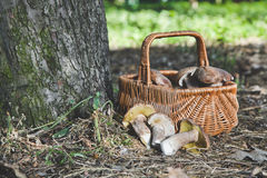 Group of white mushrooms near wicker basket in forest Stock Photo