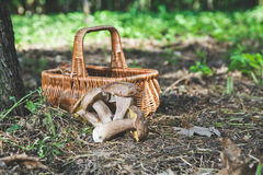Group of white mushrooms near wicker basket in forest Royalty Free Stock Photo