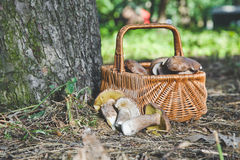 Group of white mushrooms near wicker basket in forest Stock Photography