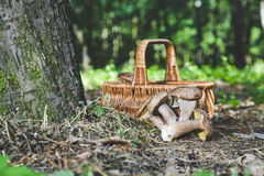 Group of white mushrooms near wicker basket in forest Stock Photos