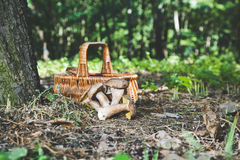 Group of white mushrooms near wicker basket in forest Royalty Free Stock Photography