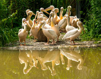 Group of white Pelicans. Basel, Switzerland: great group of white Pelicans standing close to the water with a reflection visible Stock Photos