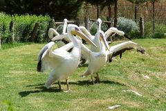 Group white pelicans with large wings on the lawn in the zoo. Group white pelicans with large wings on the green lawn in Izmir zoo royalty free stock images