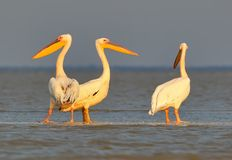 A group of a white pelicans rest on the morning sunlight stock photography