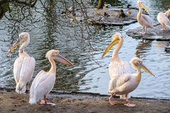 A group of white pelicans. Group of pelicans on the shore near the water Royalty Free Stock Image