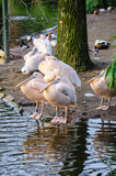A group of white pelicans. Group of pelicans on the shore near the water Royalty Free Stock Photography