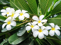Group of white plumeria flower Royalty Free Stock Photography