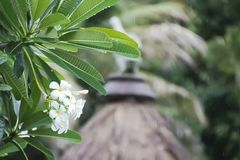 The group of white plumeria flowers in the rain. royalty free stock image