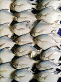 Group of White pomfret, Silver pomfret of Pampus argenteus array for sell sea food market. Texture background Royalty Free Stock Photography