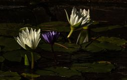 Group of white and purple lotus blossoms rising rising up out of pond of lily pads, calm serene background for meditation wellness royalty free stock photos