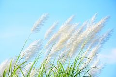 Group of white reed flower with blue sky background,. Flower in countryside Thailand stock image