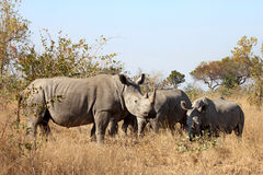 Group of White Rhinoceros together. In grass land (Ceratotherium simum Royalty Free Stock Images