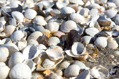 group of white sea shells Stock Photo