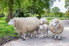 Group of white sheep and lamb on road in nature Royalty Free Stock Photo
