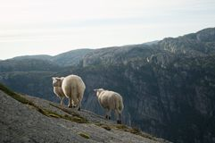 Group of White Sheep Stock Images