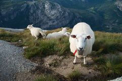 Group of White Sheep Royalty Free Stock Photos