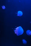 Group of White Spotted Jellyfish in Blue Water Stock Photography