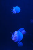 Group of White Spotted Jellyfish in Blue Water Royalty Free Stock Image