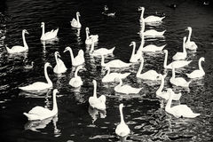 Group of white swans with ducks in the water, colorless Royalty Free Stock Image