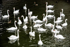 Group of white swans with ducks in the water Stock Photos