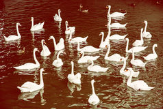Group of white swans with ducks in the water, yellow filter Royalty Free Stock Photo