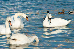 Group of white swans floating Royalty Free Stock Photos
