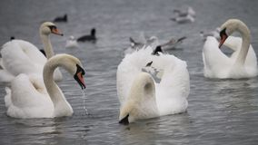 Swans near the ferry, Chornomorsk, Ukraine. A group of white swans near the shore. The birds come to the Chornomorsk ferry to spend winter. Ducks and seagulls Royalty Free Stock Photos
