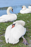 Group of white swans resting near the Seine River, France Royalty Free Stock Image